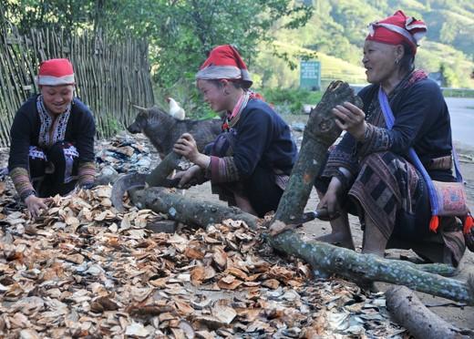 gười Dao đỏ Lào Cai có rất nhiều phương thuốc bí truyền có nguồn gốc từ cây rừng
