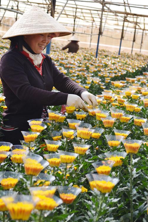 Nông dân làng hoa Thái Phiên chuẩn bị hoa cúc bán tết