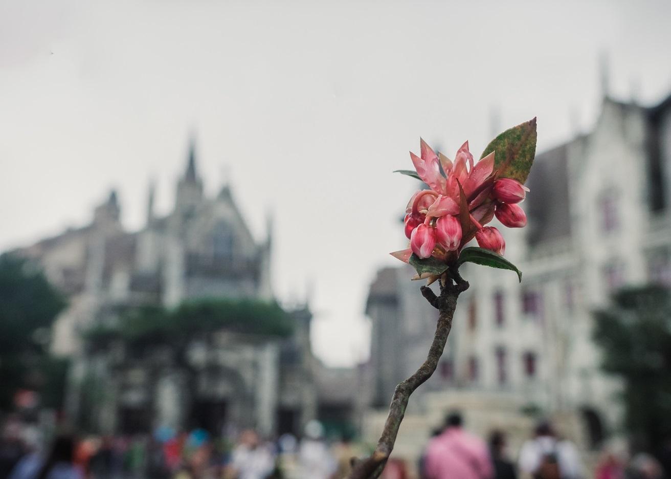 Hoa đào chuông BaNa Hills